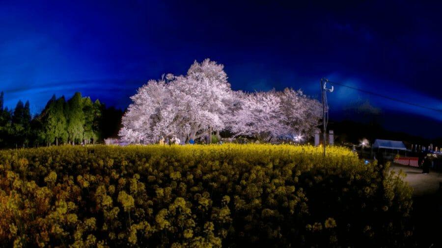一心行の大桜 360度パノラマ写真