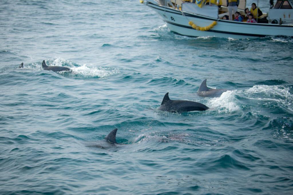 ホームページ素材 写真撮影 出張写真撮影Accy @watanabeakr イルカウォッチング 熊本の海で写真撮影 上天草から足を伸ばし五和沖合でイルカ撮影