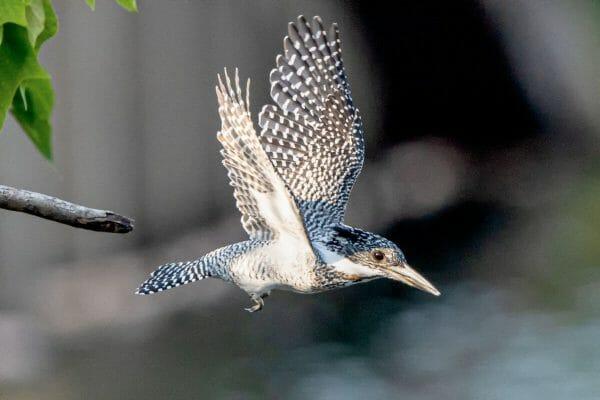 ヤマセミ 野鳥撮影 2021年9月26日 熊本