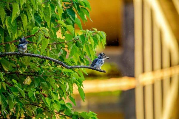 ヤマセミ 野鳥撮影 熊本
